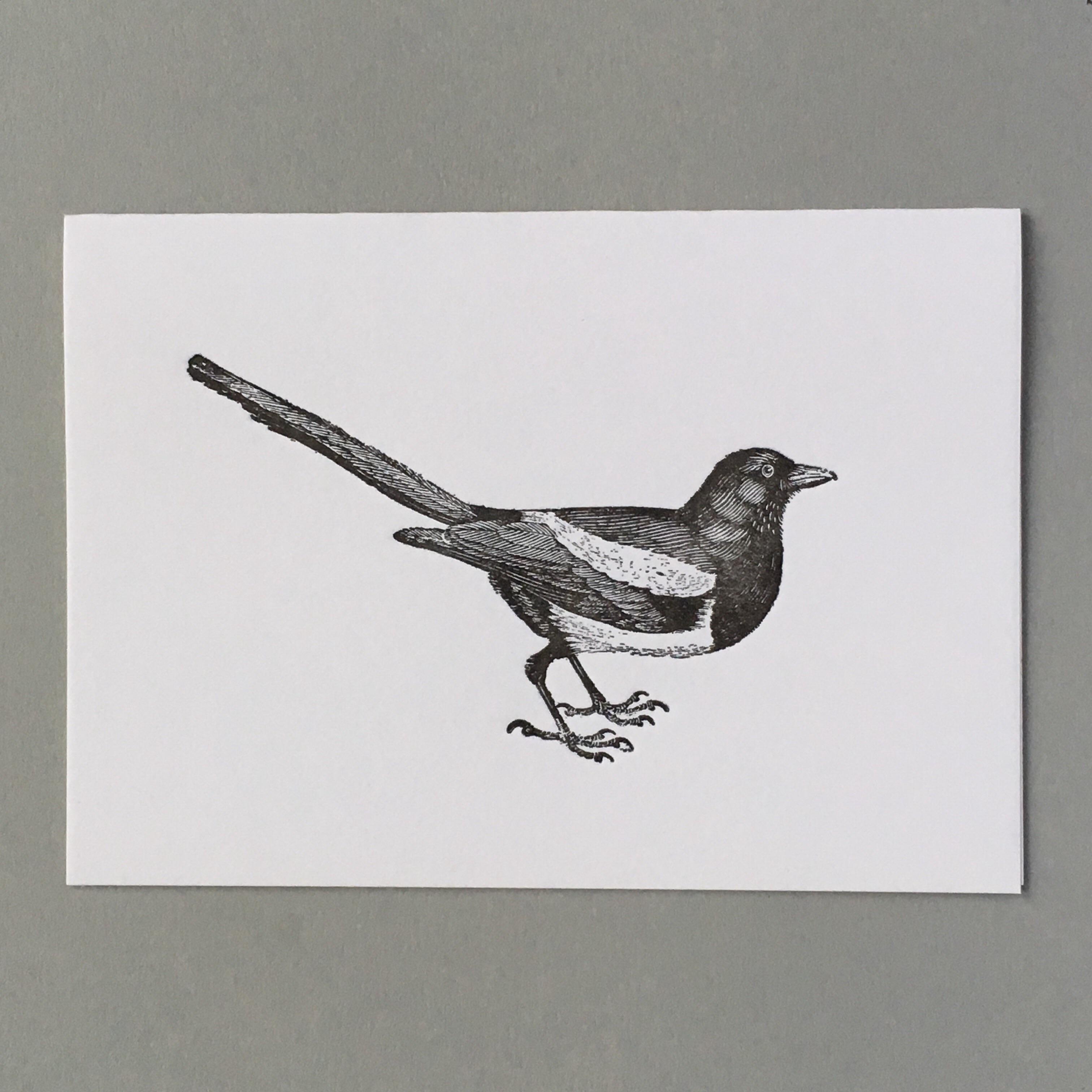 Magpie, corvus pica